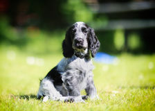 Cocker spaniel puppy. Looking directly at the camera stock photo