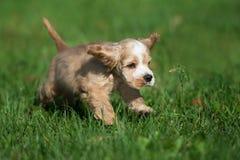 Cocker spaniel puppy running outdoors in summer. Adorable cocker spaniel puppy outdoors Royalty Free Stock Photos