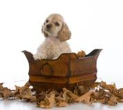 Cocker spaniel puppy Stock Image