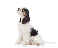Cocker Spaniel puppy sitting in profile and looking up. isolated.  Stock Photography