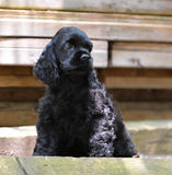 Cocker spaniel puppy. Sitting on a stack of wood - 8 weeks old royalty free stock images