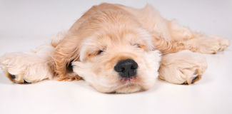 Cocker Spaniel puppy sleeping Stock Photos