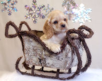 Cocker spaniel puppy in sleigh. American cocker spaniel puppy sitting in winter sleigh - champion bloodlines Royalty Free Stock Image