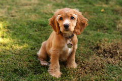 Cocker spaniel puppy in sunlight Royalty Free Stock Photos