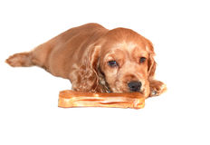 Cocker spaniel puppy with toys Stock Image