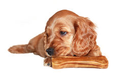 Cocker spaniel puppy with toys Stock Photography