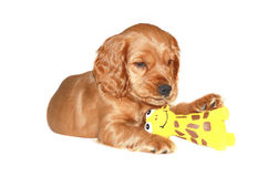 Cocker spaniel puppy with toys Stock Photo