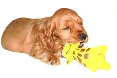 Cocker spaniel puppy with toys. A cocker spaniel puppy with toys stock photos