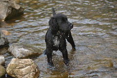 A Cocker Spaniel puppy in water. Taken during a summers walk in Richmond North Yorkshire. This image shows a 9 week old Cocker Spaniel puppy standing alert in royalty free stock photos