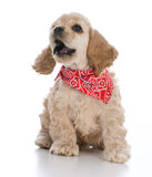 Cocker spaniel puppy. Wearing red bandanna on white background royalty free stock photo