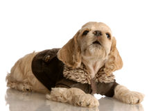 Cocker spaniel puppy in winter coat Royalty Free Stock Photography
