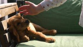 Cocker spaniel-puppyslaap op de bank stock videobeelden
