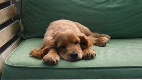 Cocker spaniel-puppyslaap op de bank stock footage