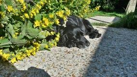 Cocker spaniel que dormita en flores amarillas fotografía de archivo