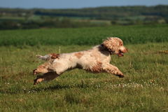 Cocker spaniel que salta em um campo Fotos de Stock Royalty Free