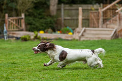 Cocker spaniel racing across a garden Stock Image