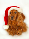 Cocker spaniel with red christmas hat. Brown cocker spaniel with red christmas hat royalty free stock image