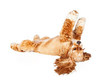 Cocker Spaniel Rolling Over Stock Images