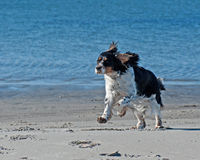 A Cocker Spaniel running on a beach Stock Photography