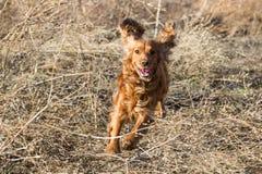 Cocker Spaniel running among dry Stock Image