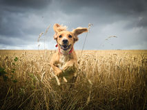 Cocker Spaniel dog running in field Stock Image