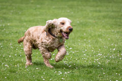Cocker spaniel running in yard Stock Image