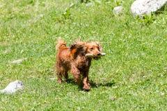 Cocker Spaniel Runs On The Grass Stock Photography