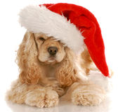 Cocker spaniel santa. American cocker spaniel laying down wearing santa hat with reflection on white background Royalty Free Stock Image