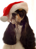 Cocker spaniel santa. Tri color american cocker spaniel with santa hat on Stock Photography
