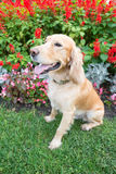 Cocker Spaniel sits in flowers. On green grass Royalty Free Stock Photos
