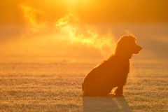 Cocker. Spaniel sitting in a cold field at sunrise Stock Photography