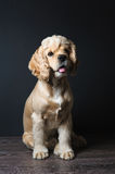 Cocker spaniel sitting on dark background. Royalty Free Stock Images