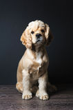 Cocker spaniel sitting on dark background. Royalty Free Stock Photography