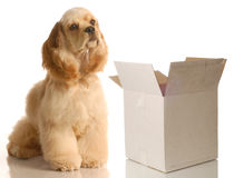 Cocker spaniel sitting by empty box. Moving or shipping concept - american cocker spaniel sitting beside empty box stock images