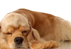 Cocker spaniel sleeping. American cocker spaniel dog sleeping - champion bloodlines Royalty Free Stock Image