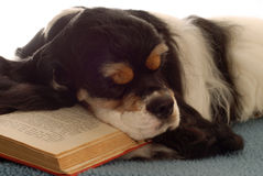 Cocker spaniel sleeping with book. Tri color american cocker spaniel sleeping with a book Royalty Free Stock Photography