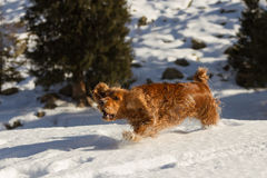 Cocker spaniel in the snow Royalty Free Stock Image