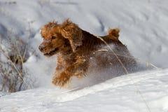 Cocker spaniel in the snow Stock Image