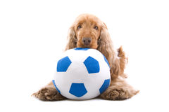 Cocker spaniel and soccer ball. A cocker spaniel and a soccer ball royalty free stock photo