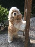 Cocker Spaniel standing in the garden. Royalty Free Stock Photography