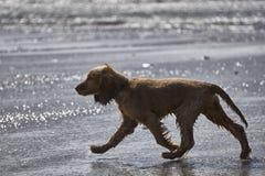 Cocker spaniel szczeniaka odprowadzenie na plaży w płytkiej wodzie fotografia stock