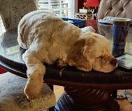 Cocker Spaniel on table sleeping Royalty Free Stock Photography