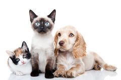 Cocker Spaniel and two kittens. Portrait of a Cocker Spaniel and two kittens, on white background royalty free stock photo