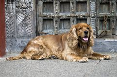 Cocker Spaniel Dog. Cocker Spaniel type dog resting in front of an antique door in Puerto Vallarta, Mexico stock images