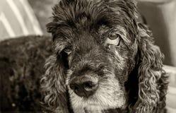 Cocker Spaniel viejo y cansado con los ojos tristes imagen de archivo