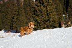 Cocker spaniel w śniegu Obrazy Royalty Free