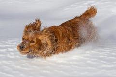 Cocker spaniel w śniegu Zdjęcia Stock