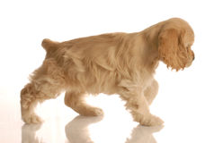 Cocker spaniel walking Stock Photo