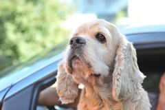 Cocker spaniel is watching. Enthusiastically royalty free stock photo