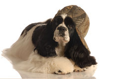 Cocker spaniel wearing hat Stock Photos